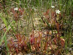 Great Sundew (Drosera anglica)